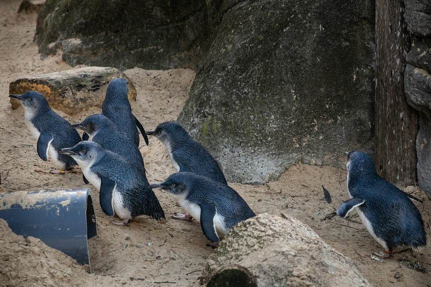 Several penguins walk on sand next to a rock.